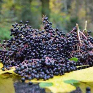Czarny Bez (Sambucus Nigra) - Właściwości Lecznicze Owoców, Zastosowanie Owoców Dzikiego Bzu. Termin Zbioru Owoców Czarnego Bzu. Poleca 1000 Roślin