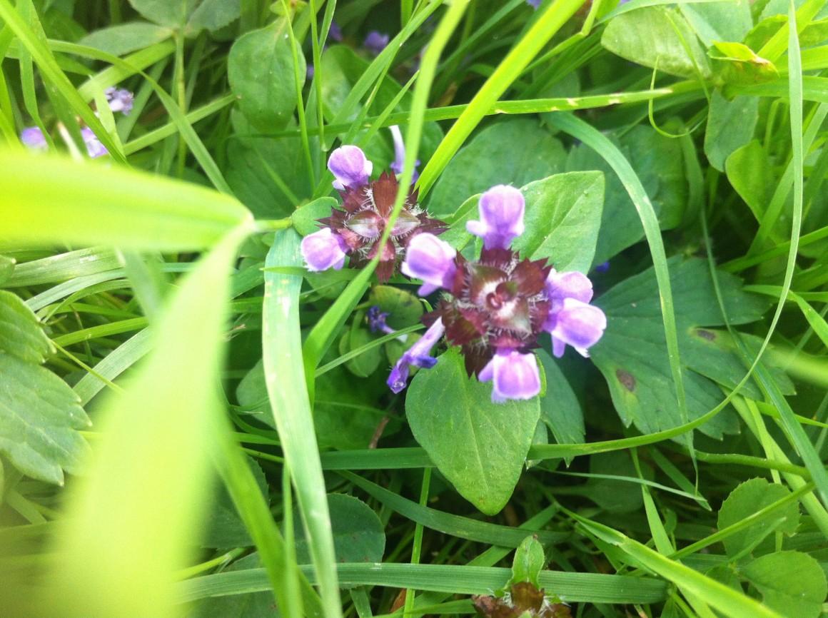 Głowienka jest znana przede wszystkim ze swoich właściwości leczniczych, jest niemal panaceum, stąd angielska nazwa heal-all. 1000 roślin