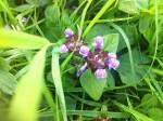 Głowienka pospolita (Prunella vulgaris).