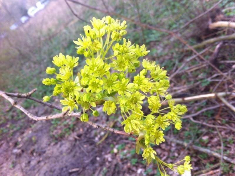 kwiatostany klonu