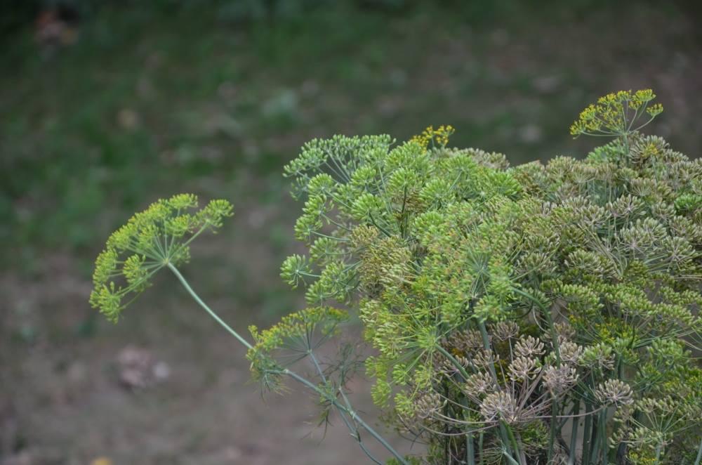 Nasiona Kopru – Dla Zdrowia.