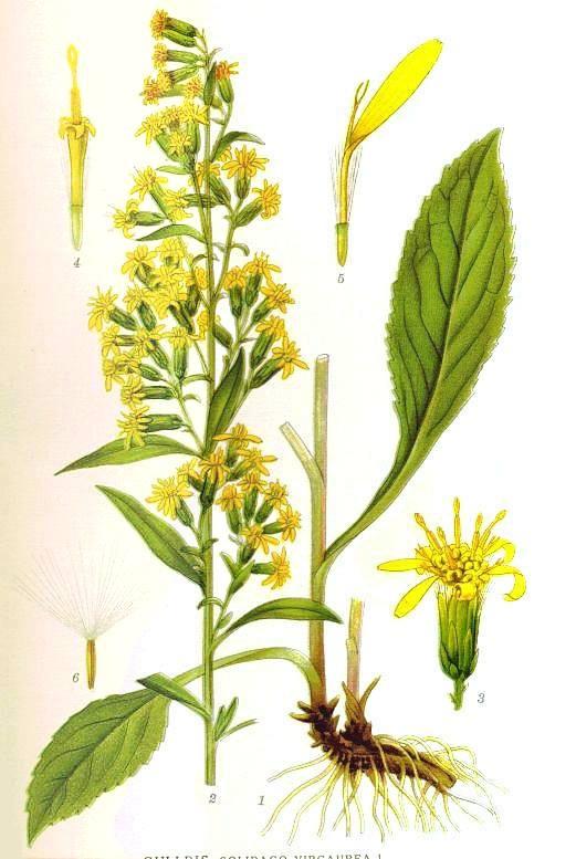 Ziele nawłoci, a zwłaszcza młode liście i kwiaty zawierają sporo antyoksydantów i mogą stanowić substytut zielonej herbaty. Nawłoć - 1000 roślin.