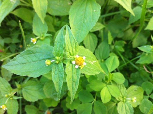 Liście i pędy rośliny można zjadać w sałatkach, zupach albo gotować jak szpinak. Kolumbijska zupa Ajiaco. Żółtlica -poleca 1000 roślin.