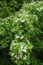 Głóg – jadalne kwiaty i liście