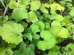 Podbiał pospolity (Tussilago farfara) – liście