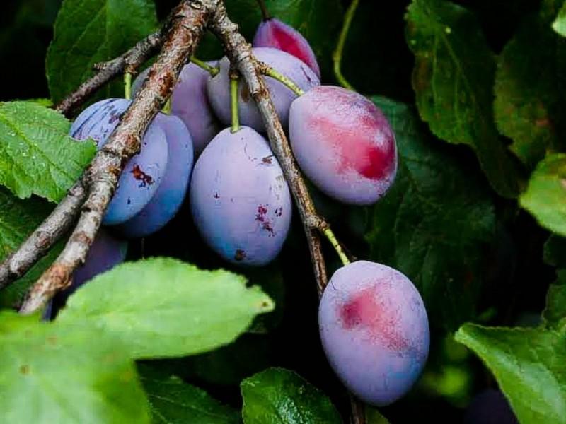 To niezmiernie ważny owoc w profilaktyce raka jelita grubego, spora zawartość pektyn zwiększa persytaltykę jelit i dodatkowo usuwa z jelit to, co zalega.