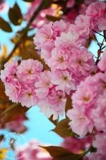 Wiśnia japońska Sakura