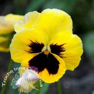 Bratki Jadalne Kwiaty