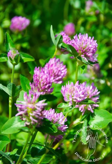 Koniczyna Polna,koniczyna Czerwona,jadalne Kwiaty,jadalne Dzikie Rośliny
