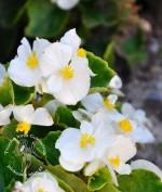 Begonia wiecznie kwitnąca