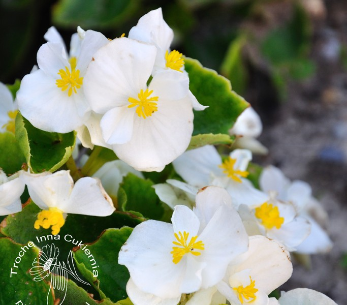 begonia wiecznie kwitnąca, begonia stale kwitnąca, begonia semperflorens
