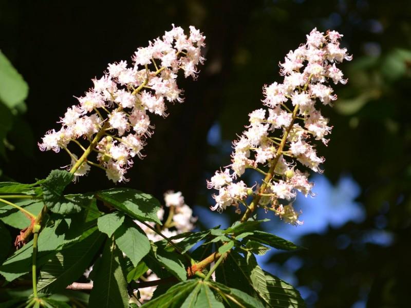 Kasztanowiec zwyczajny - kwitnące drzewa to symbol matur. Kwiaty mają wielki potencjał leczniczy, dla osób narażonych na żylaki i pękanie naczyń włosowatych