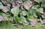 Bergenia sercolistna – lecznicza bylina