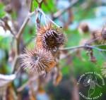 Łopian – smaczny korzeń