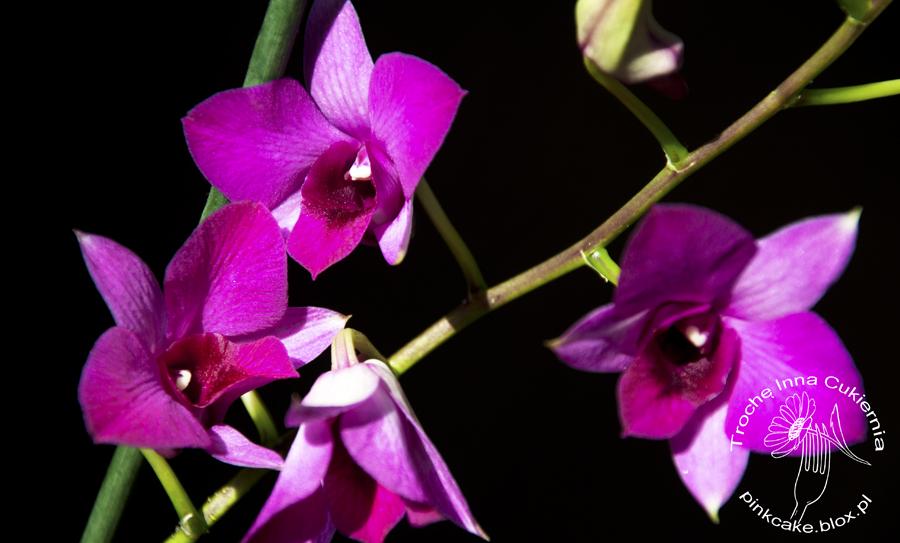 Storczyk Jadalny – Dendrobium Phalaenopsis