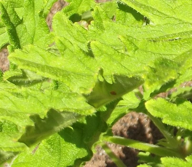 geranium igielki