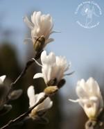 Magnolia – jadalne kwiaty