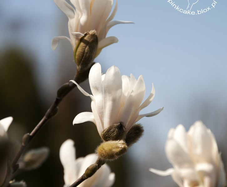 magnolia edible flowers