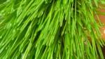 Zielony owies – wiosenne witaminy