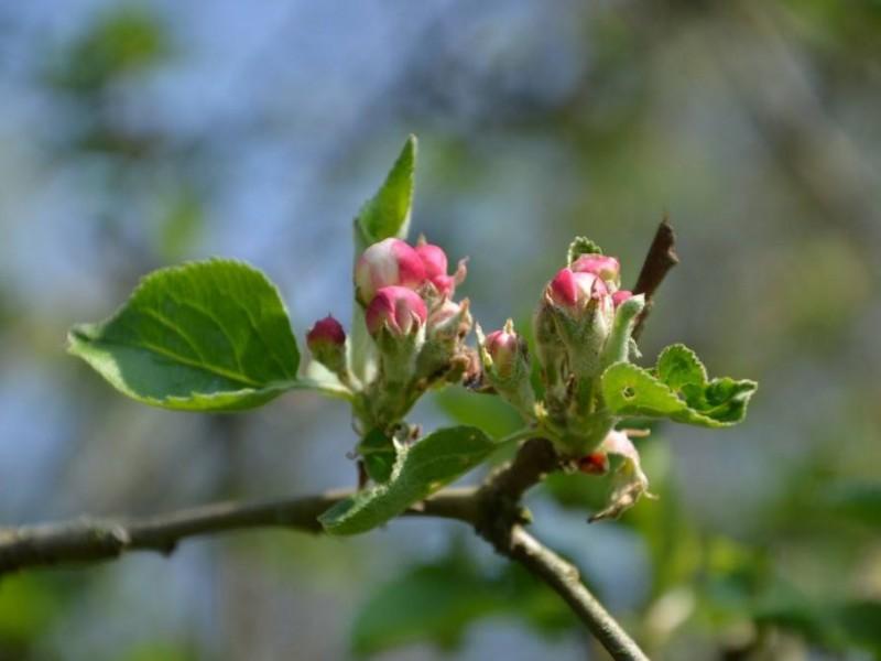 jabłuszka 3