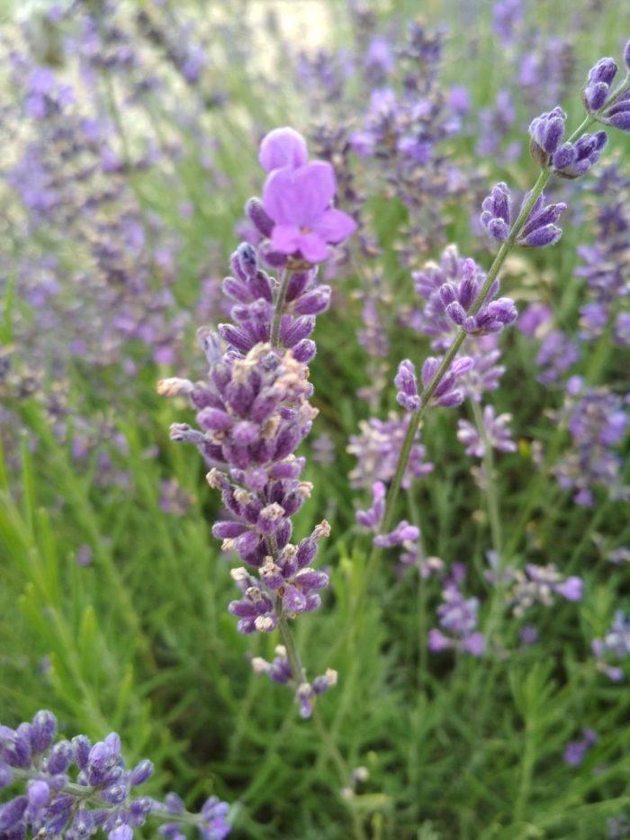 Lawenda Lekarska – świetne Rozwiązanie Dla Cery Trądzikowej