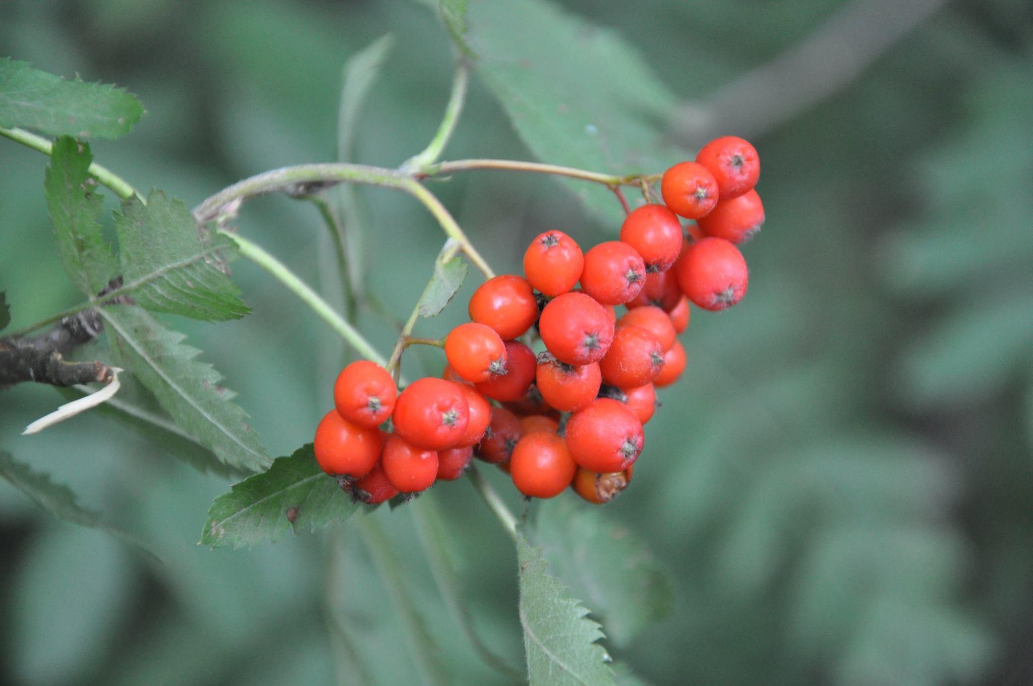 Jarzębina, Jarząb Pospolity (Sorbus Aucuparia L.) W Kosmetyce