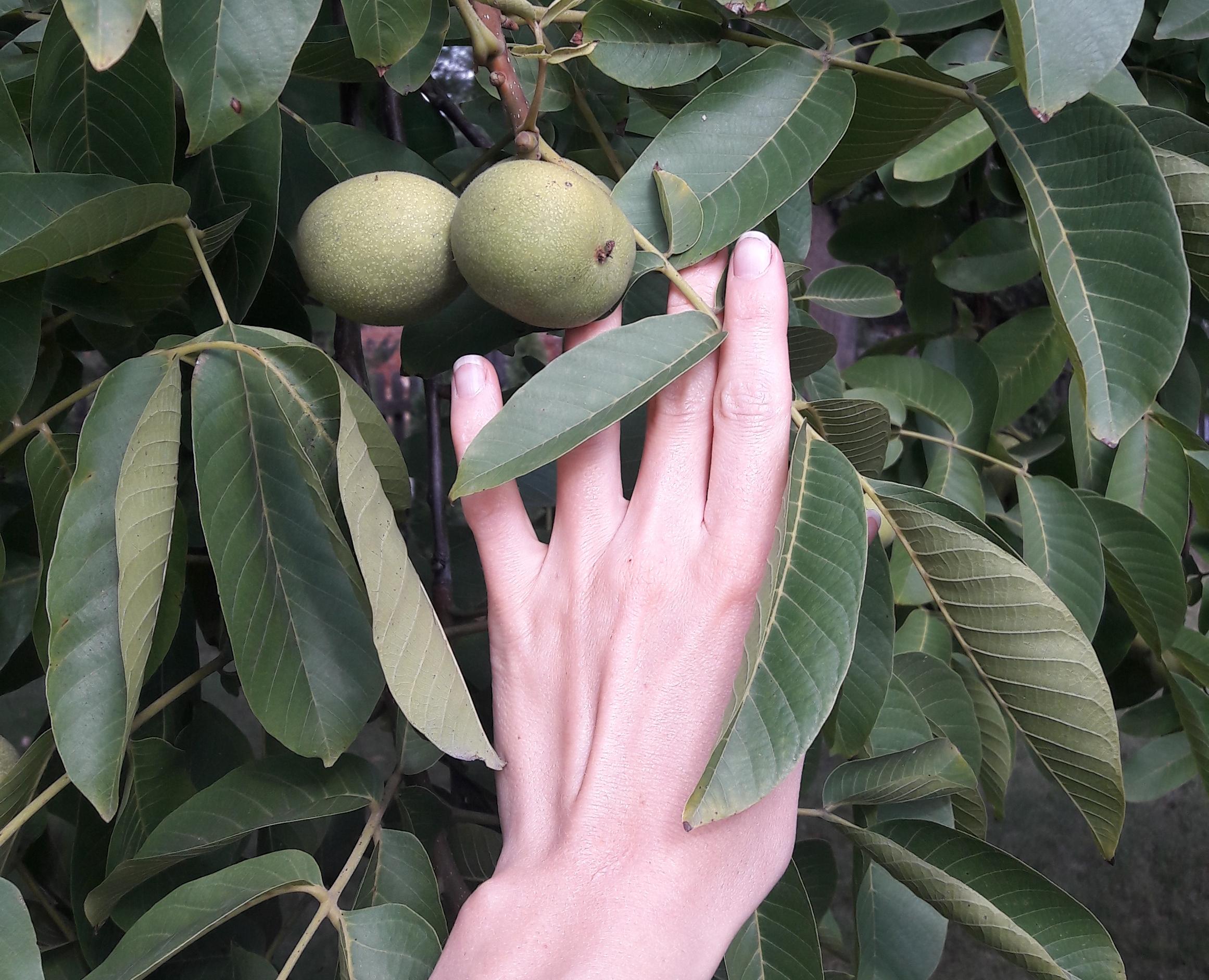 Orzech Włoski – Drzewo Uzdrawiające Trzewia