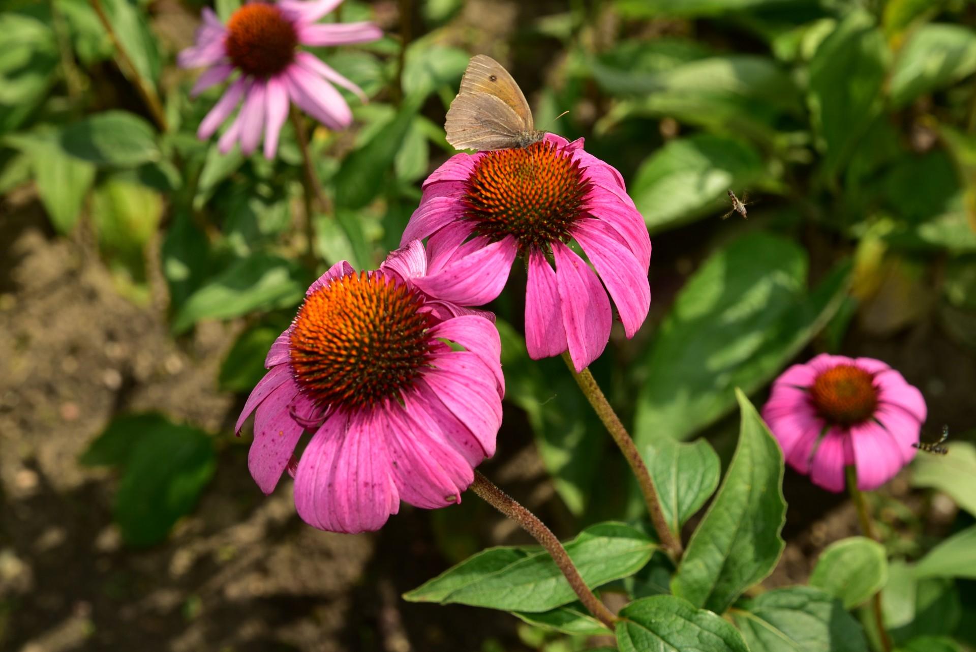 Jeżówka Purpurowa – Kwiat Na Odporność