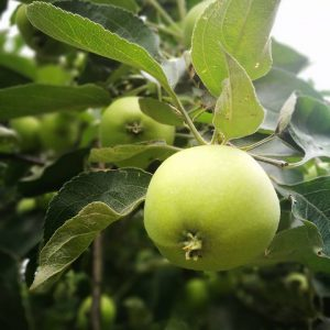 Owoc Na Gałęzi Jabłoni.