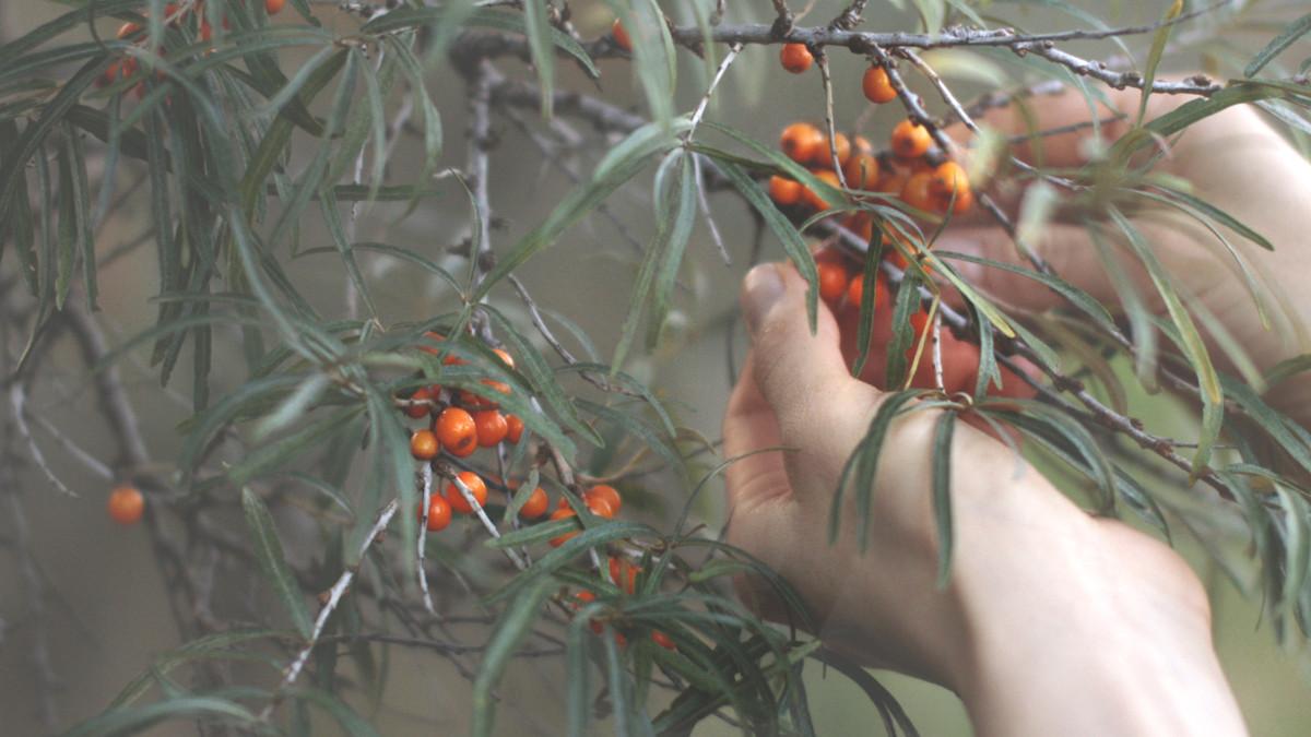 Rokitnik Zwyczajny – Pomarańczowa Bomba Witaminowa