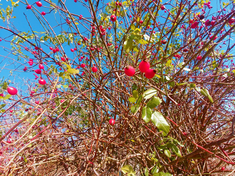 Dzika Róża- Na Pomoc Suchej Skórze I Rozszerzonym Naczynkom