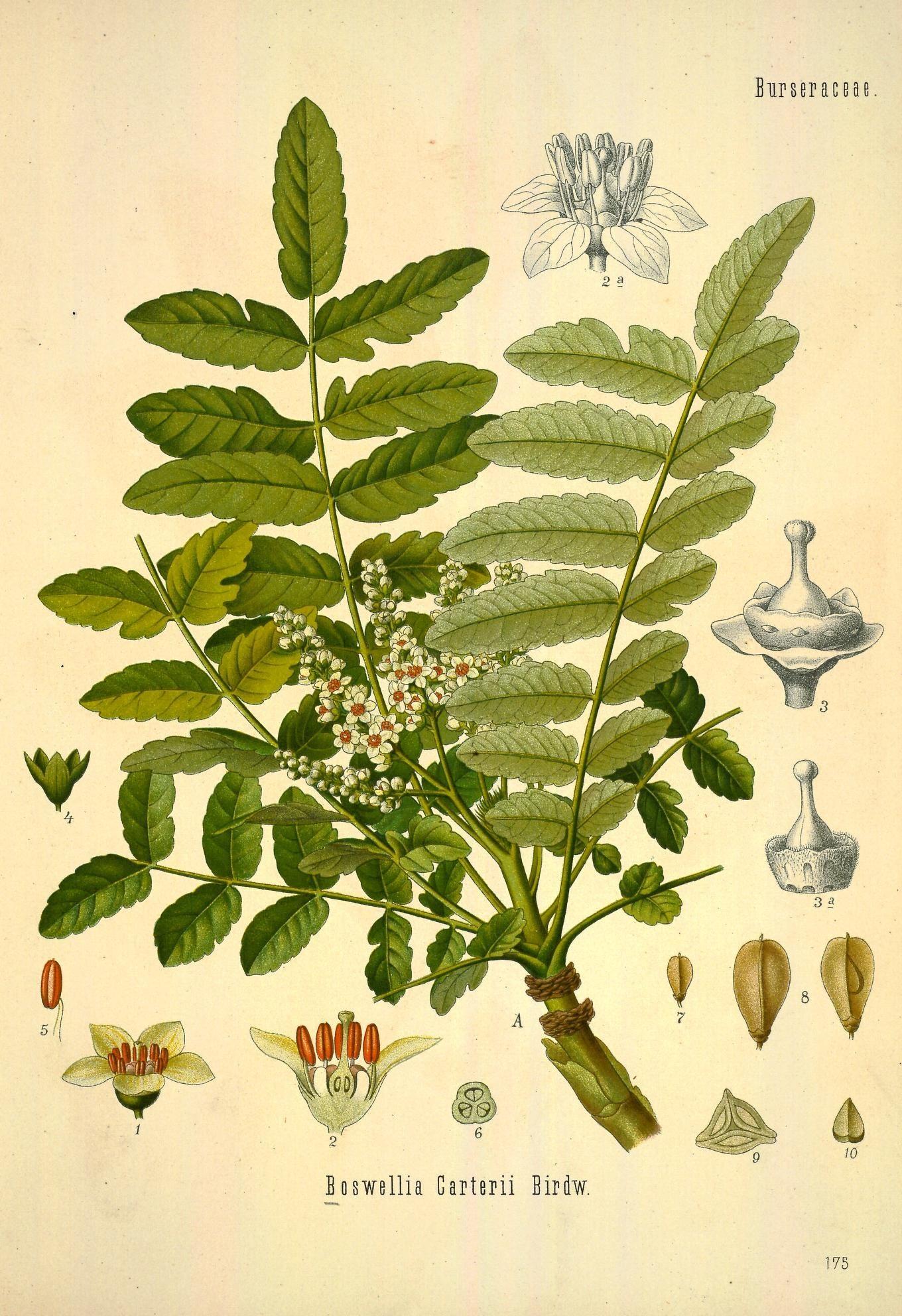 Kadzidło – Dla Zdrowia I Dla Zapachu