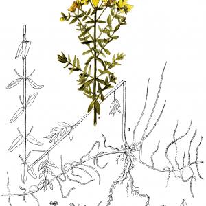 Dziurawiec Grafika Botaniczna