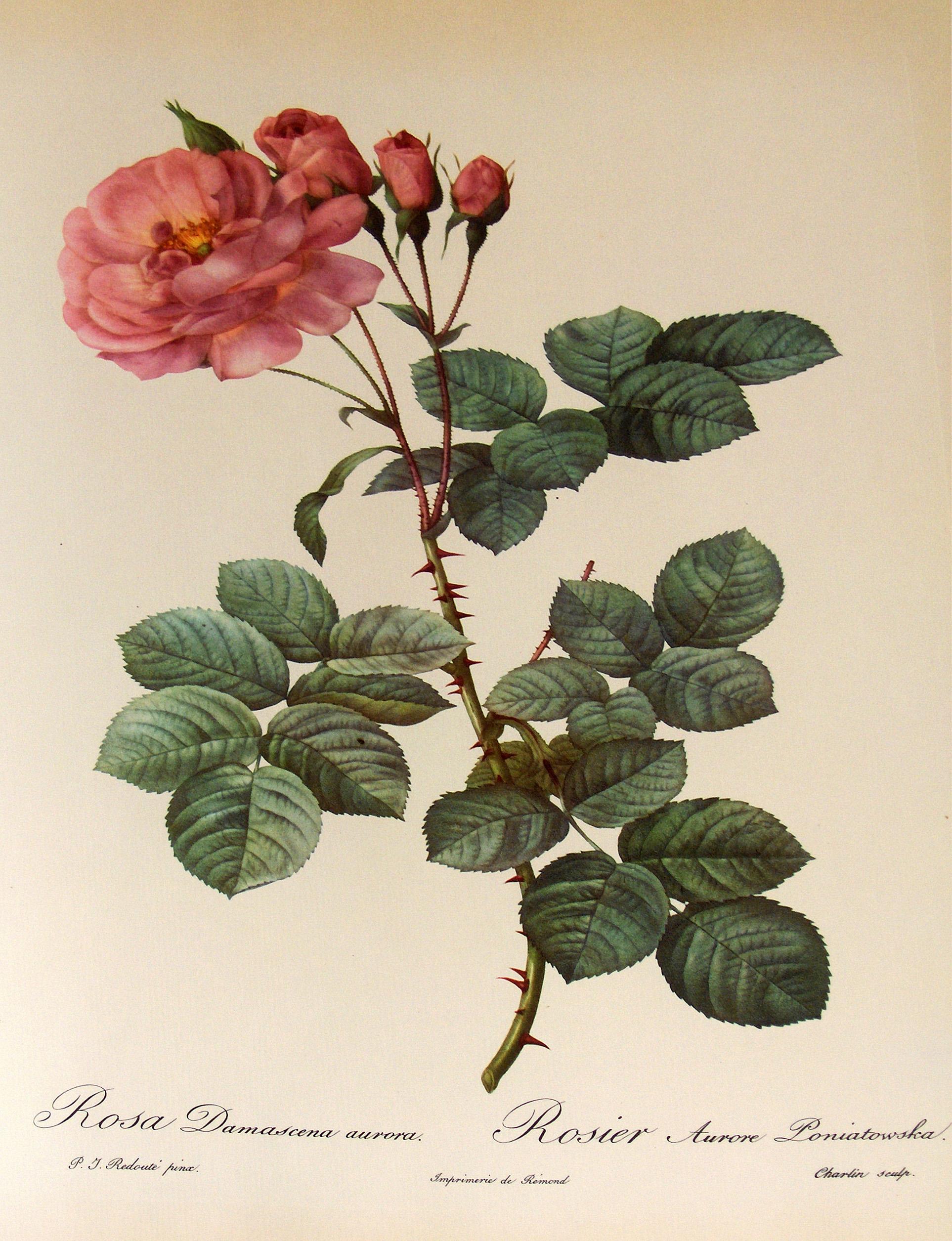 Róża Kolorowa Grafika