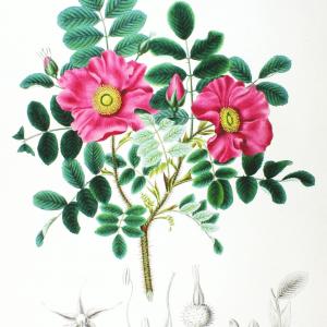 Róża Pomarszczona Grafika Botaniczna